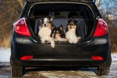 Colliehundkapplöpning i en bilstam arkivbild