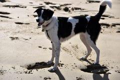 Colliemischlingshund auf Strand Stockfotografie