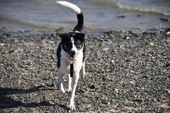 Colliemischlingshund auf Strand Lizenzfreies Stockbild