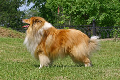 collies Royaltyfria Foton
