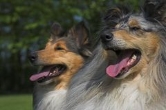 Collies close-up. With shallow depth-of-field. Looks like sisters. Please comment after download Stock Photography