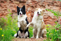 Collies de beira Foto de Stock
