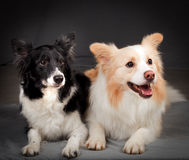 Collies de beira Imagem de Stock Royalty Free