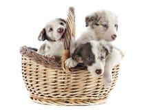 Collies de beira dos filhotes de cachorro Fotografia de Stock Royalty Free
