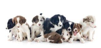 Collies de beira dos filhotes de cachorro Foto de Stock
