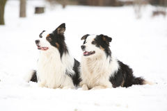 Collies de beira no inverno Fotos de Stock Royalty Free