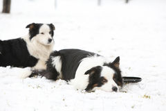 Collies de beira no inverno Fotos de Stock