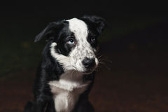 Collies de beira tristes do cachorrinho Fotografia de Stock Royalty Free