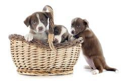 Collies di bordo dei cuccioli Fotografie Stock Libere da Diritti