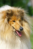 Collies portrate Stock Image