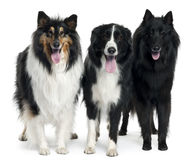 Collies standing Royalty Free Stock Images
