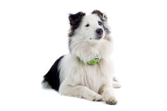colliesheepdog arkivfoto