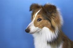 Colliewelpe Stockfotografie
