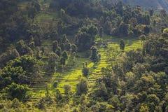 Collina con i terrazzi e gli alberi del riso Fotografia Stock