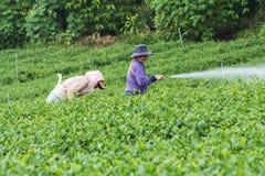 Collina del tè, Bao Loc, Lam Dong, Vietnam Immagini Stock Libere da Diritti