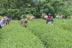 Collina del tè, Bao Loc, Lam Dong, Vietnam Fotografia Stock
