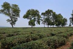 Collina del tè con i grandi alberi sulla distanza nel Vietnam Immagini Stock
