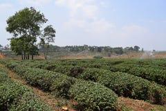 Collina del tè con i grandi alberi sulla distanza nel Vietnam Immagine Stock
