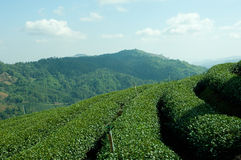 Collina del tè verde Fotografia Stock