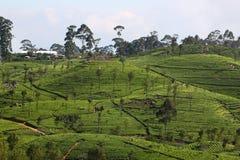 Collina della piantagione di tè Fotografie Stock Libere da Diritti