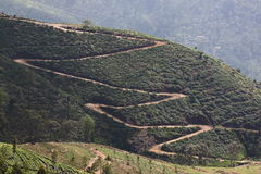 Collina della piantagione di tè Immagini Stock