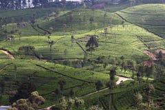 Collina della piantagione di tè Immagine Stock Libera da Diritti