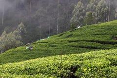 Collina della piantagione di tè Immagini Stock Libere da Diritti