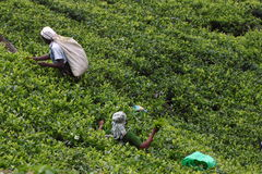 Collina della piantagione di tè Immagine Stock