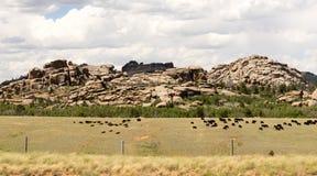Collina della roccia dell'azienda agricola della carne di mucche del bestiame del ranch di bestiame del Wyoming Immagine Stock