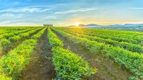 Collina delle piantagioni di tè sui Di Linh Plateau Fotografia Stock