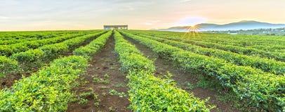 Collina panoramica delle piantagioni di tè sui Di Linh Plateau Fotografie Stock Libere da Diritti