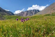 Colline alpine del prato delle montagne dei fiori selvaggi Fotografia Stock