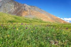 Colline alpine del prato delle montagne dei fiori selvaggi Immagini Stock