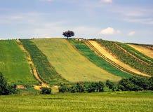 Colline avec des champs de vigne et de grain photo stock
