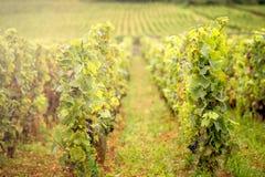 Colline coperte di vigne nella regione del vino di Borgogna, Francia fotografie stock