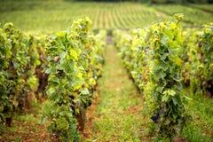 Colline coperte di vigne nella regione del vino di Borgogna, Francia fotografia stock