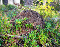 Colline de fourmi de forêt Photo stock