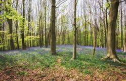 Colline de jacinthe des bois Photographie stock libre de droits