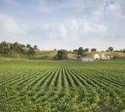Colline degli stati medio-occidentali del giacimento e dell'azienda agricola della soia Fotografia Stock Libera da Diritti