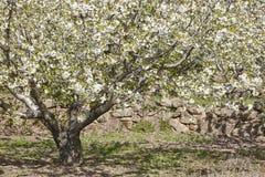 Colline del fiore di ciliegia in valle di Jerte, Caceres Primavera Spagna Fotografia Stock