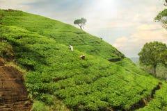 Colline della piantagione di tè Fotografie Stock