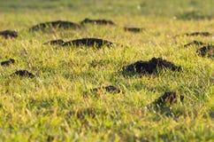 Colline della talpa nell'erba Immagine Stock