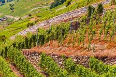 Colline della vigna della Svizzera Fotografia Stock