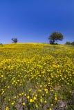 Colline des fleurs jaunes de souci Images libres de droits