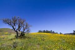 Colline des fleurs jaunes de souci Photos stock