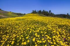 Colline des fleurs jaunes de souci Photo libre de droits