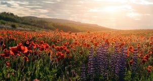 Colline di fioritura dei fiori del lupino e del papavero, alla luce solare calda Immagini Stock