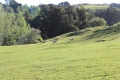 Colline, prati e cespuglio su un allevamento di pecore della Nuova Zelanda Immagine Stock