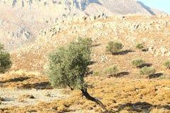 Colline rocciose con di olivo Fotografia Stock