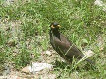 Colline sri-lankaise Myna/Acridotheres Tristis photos stock